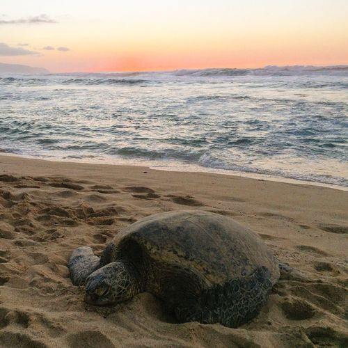 Honu Happyhonu Turtle Turtletracks Luckywelivehawaii Luckywelivehi Livingthedream Beachphotography Showcase: March Showcase: March 2016