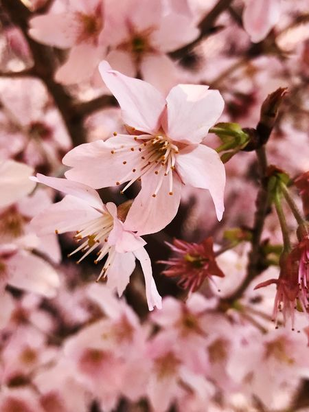 Cherry Blossom in the city Street Urban Exploration Urban Nature Flower Mobilephotography Japanese Cherry Blossoms Japan Flower Flowering Plant Fragility Beauty In Nature Petal Plant Vulnerability  Nature Blossom Pink Color No People Freshness Day Springtime Growth