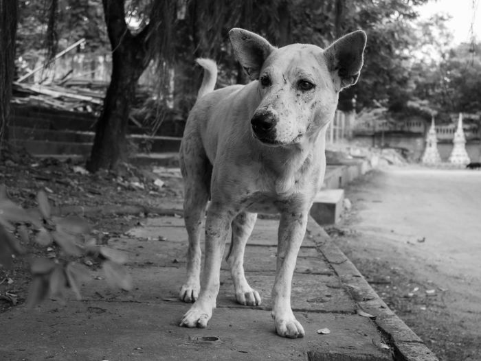 Buddha Temple Culture Thai Dogs Religion And Tradition Stray Dogs Stray Dog Thailand Thailand Photos Traditional Culture Culture Culture And Tradition Dog Identity Religion Temple Temple - Building Temple In Thailand Temple Thailand Thailand_allshots Traditional Wat Thai