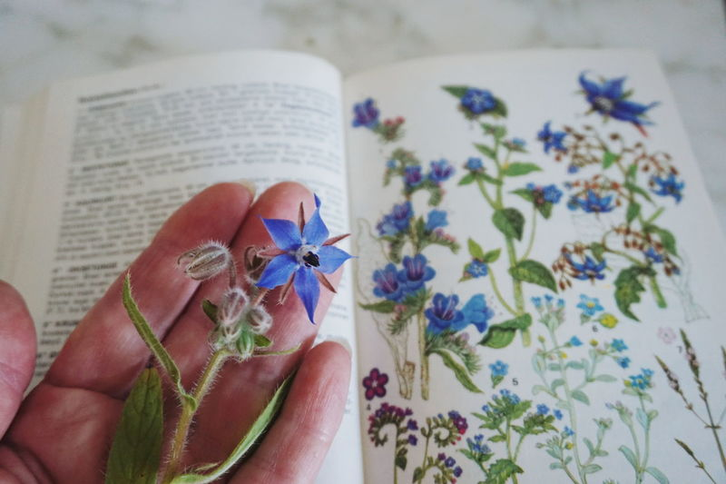 borago officinalis One Person Human Body Part Flower Indoors  Close-up Ribbon - Sewing Item Adult People Human Hand Gift Lifestyles Adults Only One Woman Only Real People Only Women Day Borago Borago Officinalis Borage Borage Officinalis Borage Flowers Eatable Flowers Learning Flowers Herbst