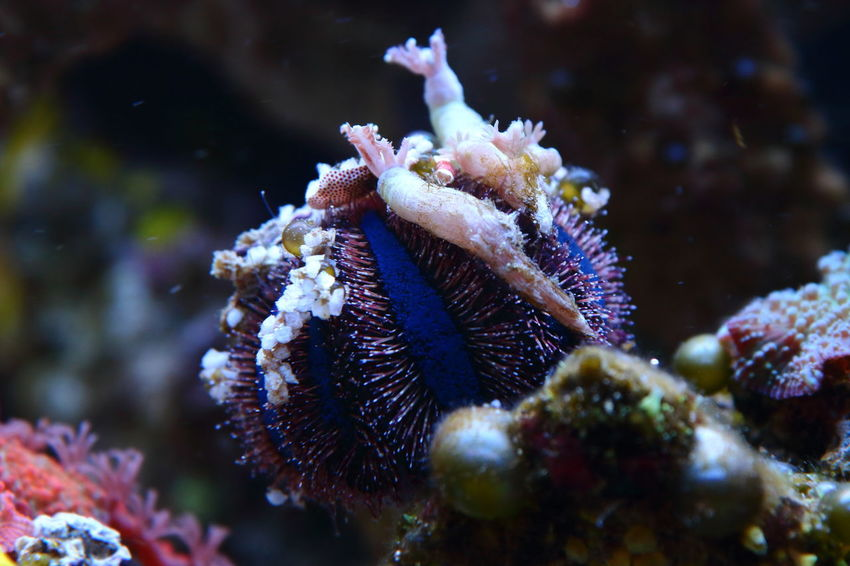 Sea Life Aquarium Sea Urchin Under Water Animal Themes Animals In The Wild Beauty In Nature Close-up Day Mespilia Globulus Nature No People One Animal Outdoors Reef Reef Life Reef Tank Sea Sea Horse Sea Life Sea Life. UnderSea Underwater underwater photography Water