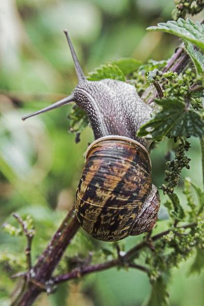 Garden snail, Helix aspera, on foliage. Close-up Coiled Shell Garden Gastropod Gastropoda Helix Aspersa Herbivorous Landscape Mollusc One Animal Pest Plant Eating Pulmonate Shell Snail Terrestrial