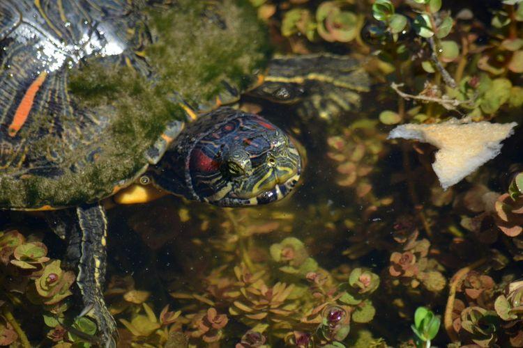 Trachemys scripta elegans, red-eared slider turtle swimming in water