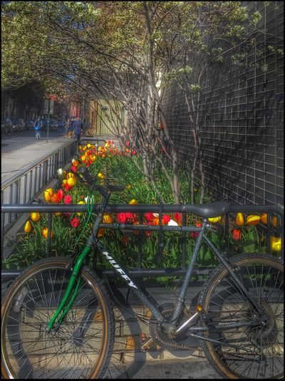 Tulips on Greenwich Ave. - 4/15/16 Bending Light My Way Bicycle Leaning Creative Use Of Selections & Adjustments W/ Ps CC2016 EyeEm Best Shots EyeEm StreetPhotography, NYC IPhone Edits W/ Snapseed IPhoneography 6s Seasonal Planting Showcase April The Street Photographer - 2016 EyeEm Awards The Photojournalist – 2016 EyeEm Awards
