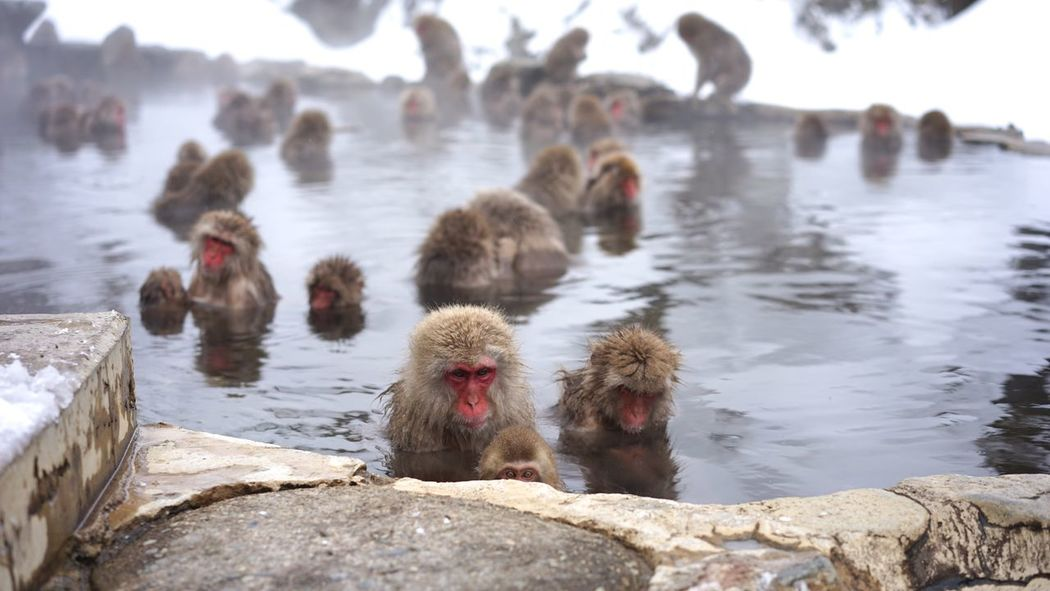 Snow Monkeys bathing Hot Spring Animal Themes Animals In The Wild Water Nature Large Group Of Animals Day Animal Wildlife Outdoors No People Beauty In Nature Mammal Cold Temperature Snowmonkeys Travel Destinations Jigokudani-Snow-Monkey-Park Nagano Prefecture,Japan Japanese Macaque Monkeys Animal Family Christmastime Snow Ski Holiday Shigakogen  Young Animal