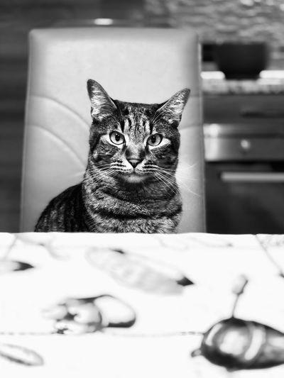 Cat Feline Domestic Cat Pets One Animal Mammal Domestic Domestic Animals Indoors  Looking At Camera Portrait