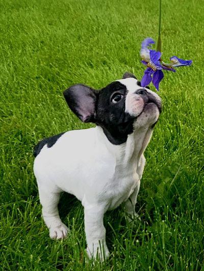 Teddys' first summer joy! Cute Dog  Dog Dogslife FirstTime Summertime Sniffing Flower Green Grass Learning Smell