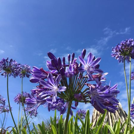 Agapanthus Tresco Isles Of Scilly Summer ☀ Nature Photography IPhoneography