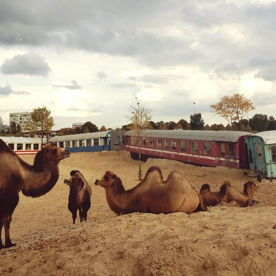 No People Mammal Outdoors Day Camel Camel Baby Sand Trainwreck Train Zoo Zoo Animals  Desert Chilling