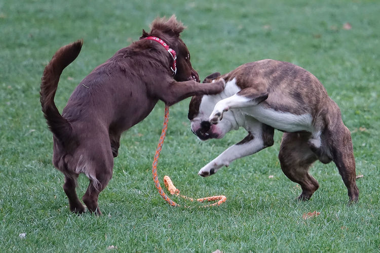 Dogs playing on field