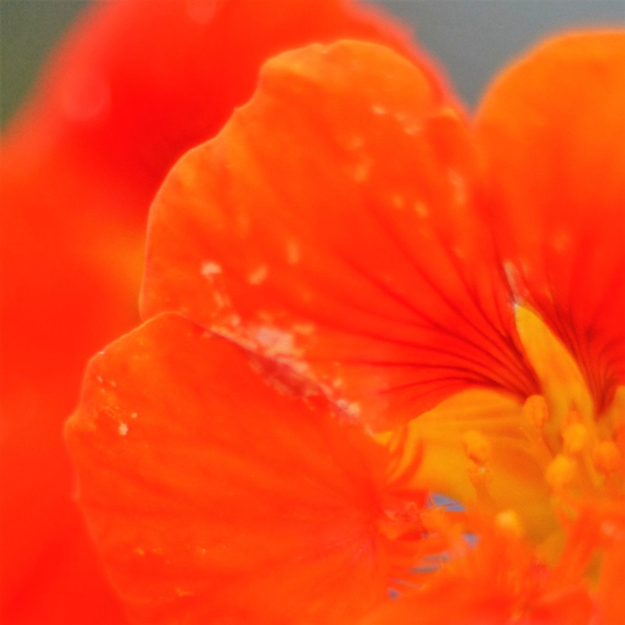 orange color, close-up, flower, petal, freshness, flower head, red, beauty in nature, no people, studio shot, fragility, nature, growth, hibiscus, indoors, day, blood orange
