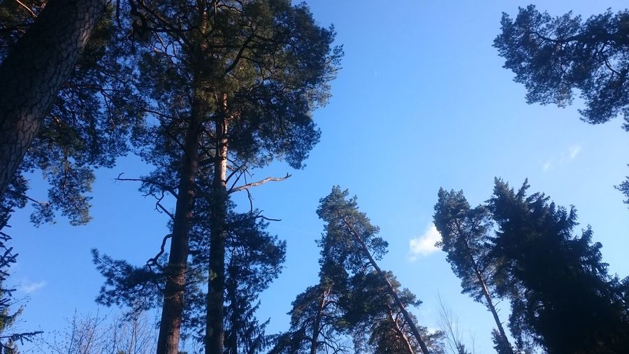 Tree Low Angle View Pine Tree Forest Nature Pinaceae Blue Sky Outdoors Tree Area Growth Beauty In Nature No People Day Branch Clear Sky Freshness Vilnius City Objects Of Interest Nature Photography Nature Sky And Clouds Skyline Sky_ Collection