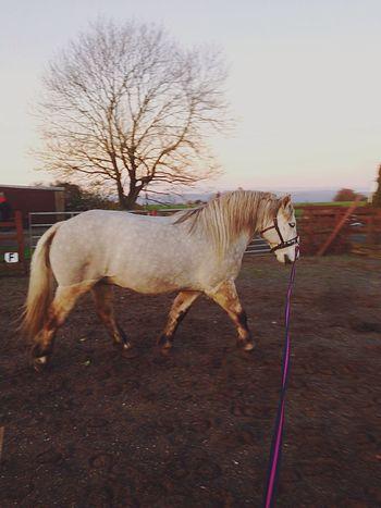 Vrackie Highland Pony