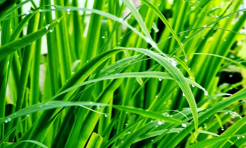 Close-up of wet grass growing on field