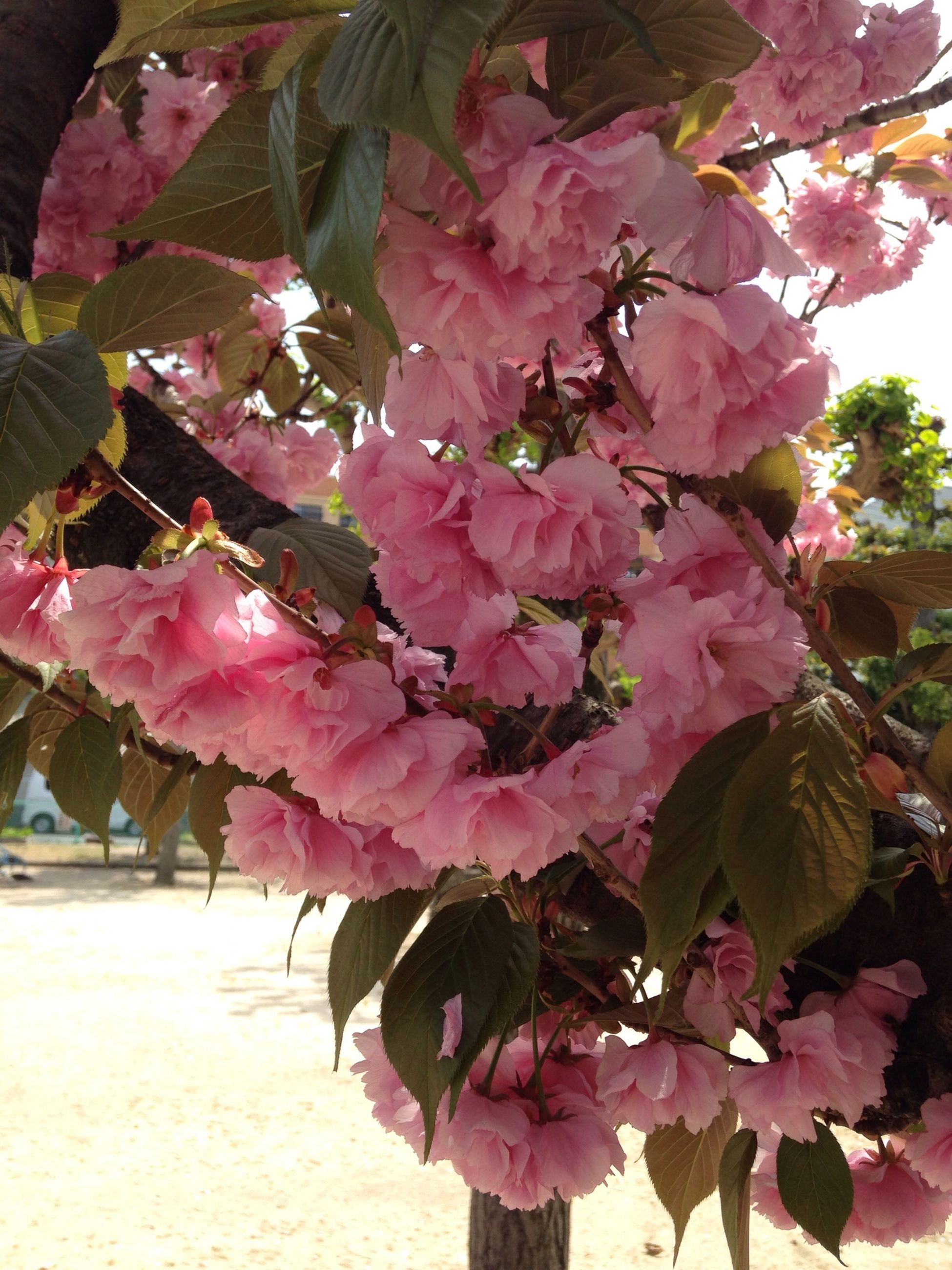 flower, freshness, growth, pink color, beauty in nature, fragility, branch, leaf, nature, tree, blossom, petal, springtime, in bloom, red, pink, season, blooming, close-up, botany