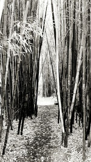 "Looking at pathway between bamboo in a ""forest"" in the San Francisco Botanical Gardens. Where does it lead to? Similarly in life pathways open up. Shall we explore them or stay on course? Sanfrancisco Bamboo Botanical Gardens Chosen Paths Nature Photography"