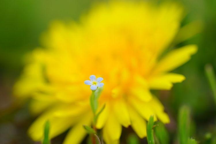 『出会い』 花 キュウリグサ タンポポ Cucumber Herb DandelionFlowers Flowerporn Macro Macro Photography Bokeh Photography Bokeh From My Point Of View Sony Fe 90mm F2.8 Macro G Oss SONY A7ii Sony α♡Love