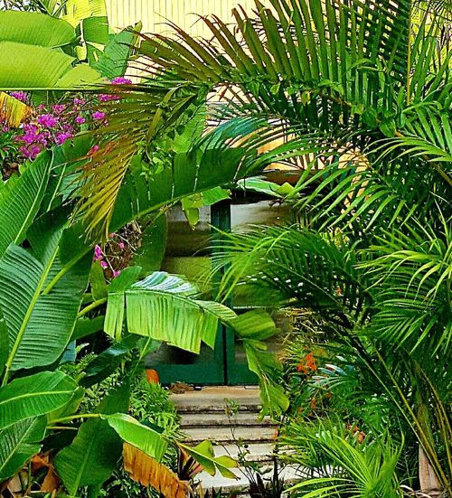 Growth Leaf Nature Plant Green Color Outdoors Lush Foliage No People Backgrounds Day Beauty In Nature Palm Tree Close-up Freshness Front Door Steps