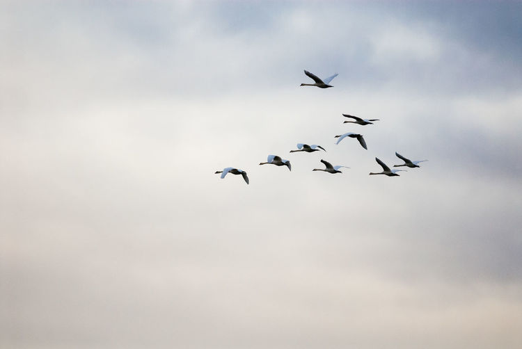 Flying Animals In The Wild Flock Of Birds Mid-air Animal Animal Wildlife Sky Bird Nature Spread Wings Group Of Animals Swan Mute Swan Migrating Migration Voyage Copy Space Flight Animal Migration Formation Flying
