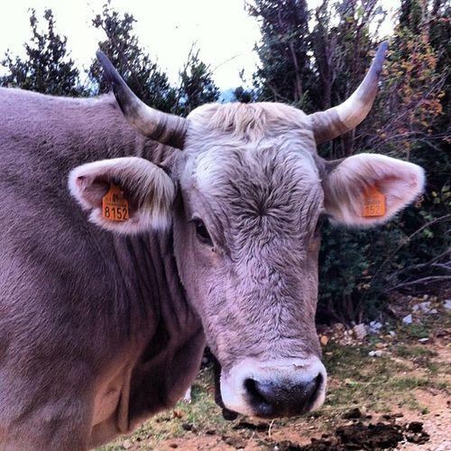 Vacas Cow Animals Pitxapins natura bergadà berga catalonia