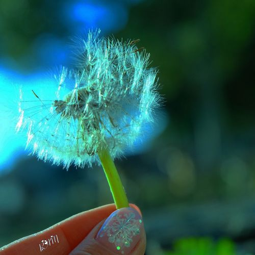 Blue Dandelion✨ Human Hand Human Finger Close-up Focus On Foreground Human Body Part One Person Fragility Holding Plant Outdoors Real People Flower Nature Dandelion Seed Day Flower Head Dandelion Sunset Nail ネイル タンポポ Japan Photography Green