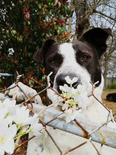 hi mom i got you a flower! Black N White Pit /lab Mix Spring Flowers Easter Ready EyeEm Big Eyes Big Brown Eyes ❤ Cherry Blossom Pets Dog One Animal Animal Domestic Animals Mammal Looking At Camera Animal Themes Portrait Leaf Flower Nature Tree Day Outdoors No People 10 Summer Road Tripping The Troublemakers The Traveler - 2018 EyeEm Awards The Photojournalist - 2018 EyeEm Awards