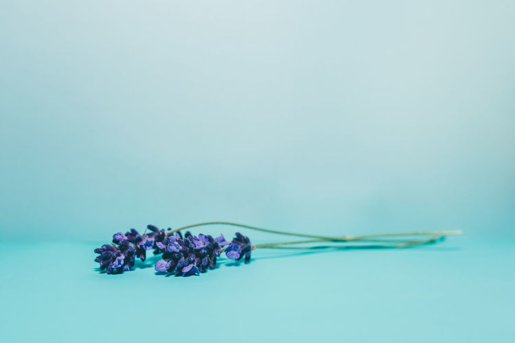 Beauty In Nature Blue Blue Background Close-up Colored Background Copy Space Day Flower Flower Head Fragility Free Space Freshness Headspace Lavendel Lavender Lavenderflower Nature Neutral Background No People Purple Studio Studio Photography Studio Shoot Studio Shot White Background