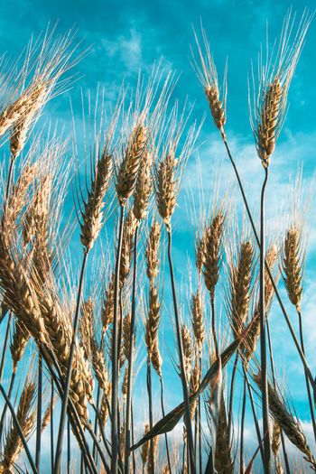 Close up of stalks of wheat with blue sky background. vertical
