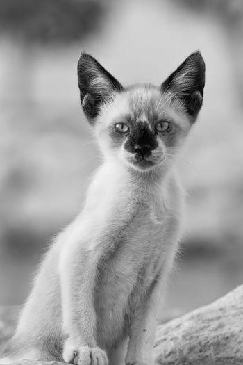 Close-up portrait of wild cat