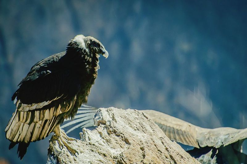 Vulture perching on rock during sunny day