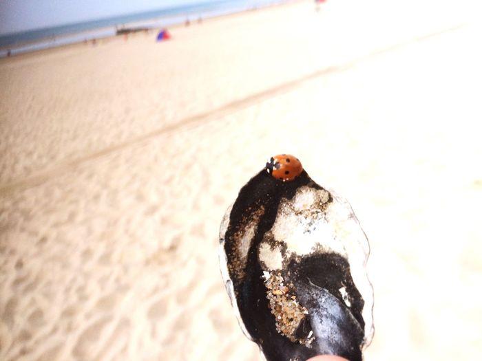 Mussel Beach Ladybird Ladybug Ladybeetle