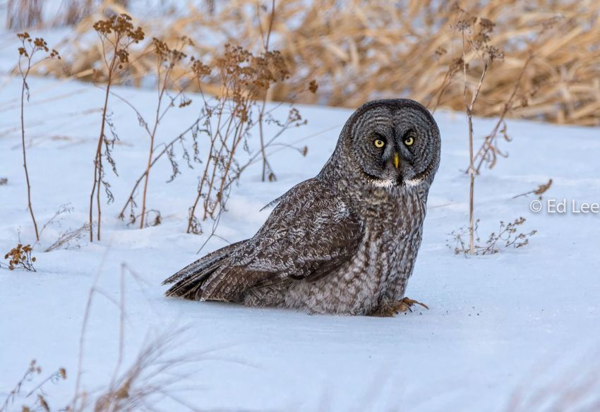 Just finished a vole for Dinner Owls Malephotographerofthemonth Winter Snow One Animal Animal Wildlife Animals In The Wild Cold Temperature Nature Bird Animal Themes Owl Outdoors Beauty In Nature Bird Of Prey