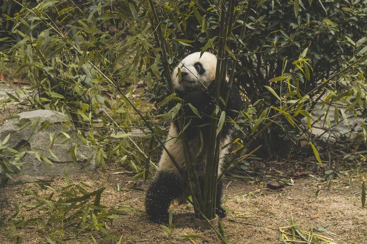 Panda standing behind plant