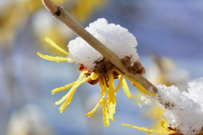 Animal Themes Beauty In Nature Blossom In Snow Blossom With A Hat Close-up Cold Temperature Day Focus On Foreground Freshness Frozen Hamamelis Nature No People One Animal Outdoors Sky Snow White Color Winter Witch Hazel Yellow Blossom
