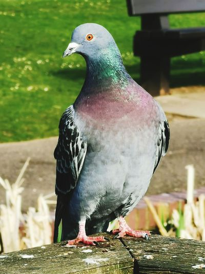 Just a pigeon