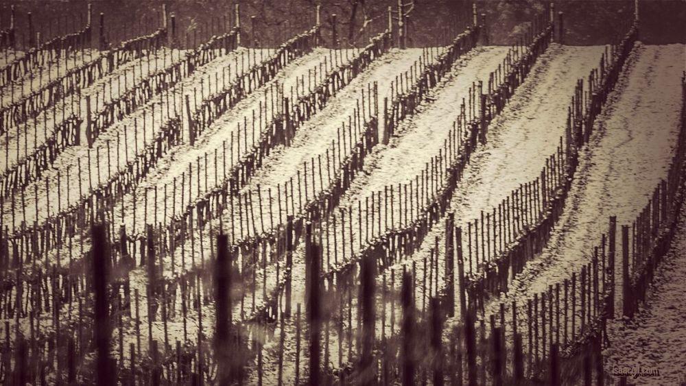 Blackandwhite Landscape Snow Lines Photography Vineyard