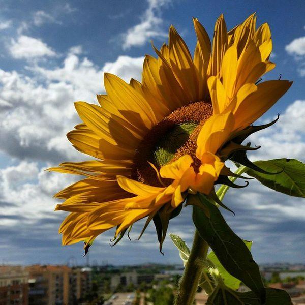 Ara surt el sol...un sol brillant!! Girasoles Girassol Nature_collection Flowers Flowers,Plants & Garden