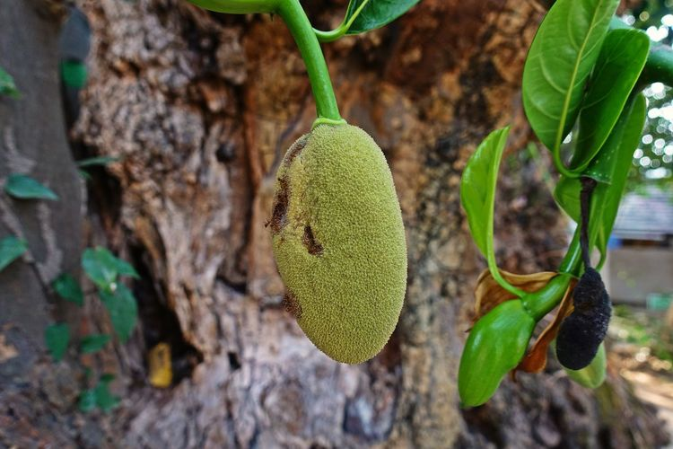 plant disease on jackfruit causes damage to yield Fun Jack Fruit Close-up Damaged Garden Green Color Growth Management Nature Orchard Outdoors Plant Plant Part Plat Disease Tree
