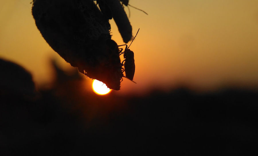 Nature sunset and Silhouette insect Natural Beauty Nature Nature Photography Nature Sunset Nature Sunset Beauty Sunset_collection Animal Themes Animals In The Wild Beauty In Nature Close-up Day Focus On Foreground Insect Insects  Nature Nature And Insect Nature_collection Naturelovers No People One Animal Orange Color Outdoors Silhouette Sky Sunset