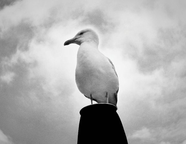 Bw_collection Seagulls BW Portrait Taking Photos Black & White Fortheloveofblackandwhite Monochrome For My Friends That Connect Tadaa Community Animal Themes