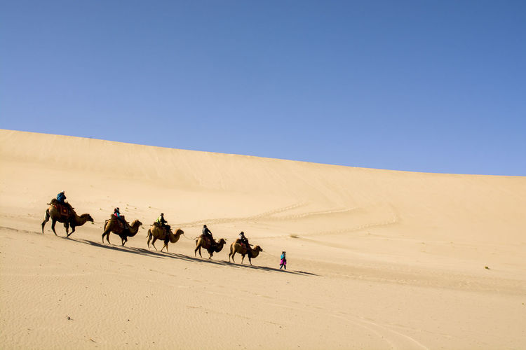 Camels in desert, china