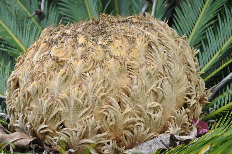 Close-up of coconut palm tree