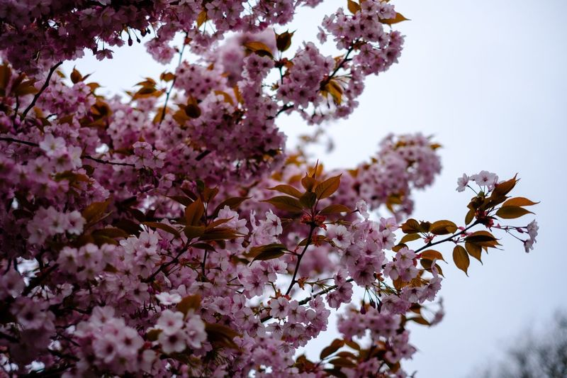 Detail in the blossom, tones of pink. Leaf First Eyeem Photo Check This Out Fujifilm Flower Springtime Wallpaper Backgrounds Tones Minimalism Plant Flowering Plant Flower Beauty In Nature Growth Freshness Fragility Blossom Vulnerability  Tree Nature Branch Low Angle View Sky No People Day Pink Color Cherry Blossom Close-up Stay Out