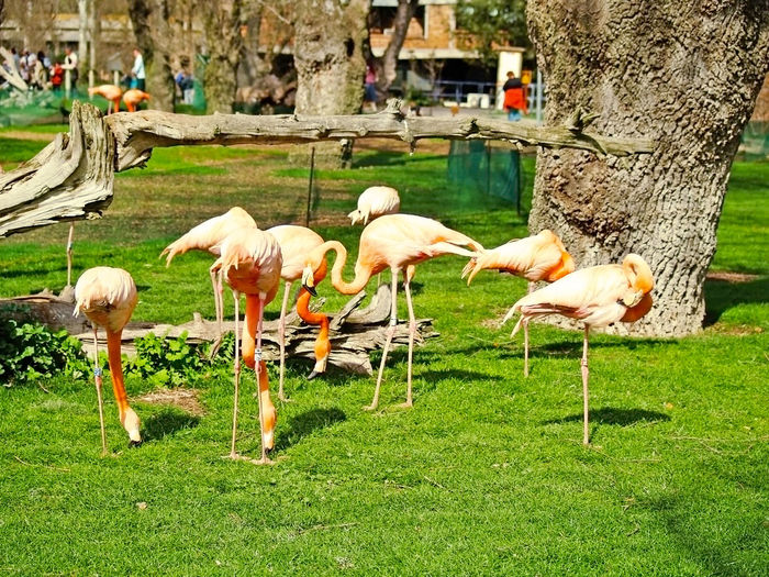 Phoenicopterus - Group of flamingos on a zoo Abundance Animal Themes Animals In The Wild Beauty In Nature Bird Bird Photography Birds_collection Colors Day Eating Fauna Flamingo Flamingo Grass Large Group Of Animals Nature Outdoors People Pink Romantic Wild Wildlife Zoo Phoenicopterus