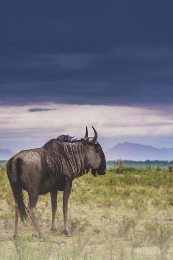 Wildebeest standing on field against sky