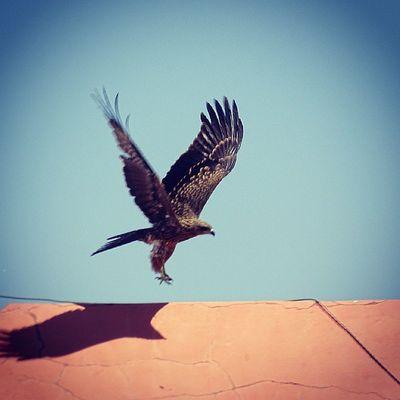 Eagle galore.... Eagle Swooping Prey Puneinstagrammers Punediaries Ngma INTIME Natgeo Birds Nature Birdsofprey Birdsinflght Wildlife Fauna Waycoolshots Instacool Photopport_unity Photodrobe Rsa_light