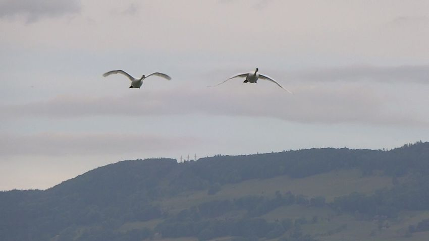 Flying Bird Animals In The Wild Animal Themes Nature Sky Mid-air Low Angle View Beauty In Nature Animal Wildlife No People Outdoors Day Spread Wings Cloud - Sky Mountain Scenics Tree Swans ❤ Swans Of Eyeem Schwan  Swan Series Schwäne Swantastic