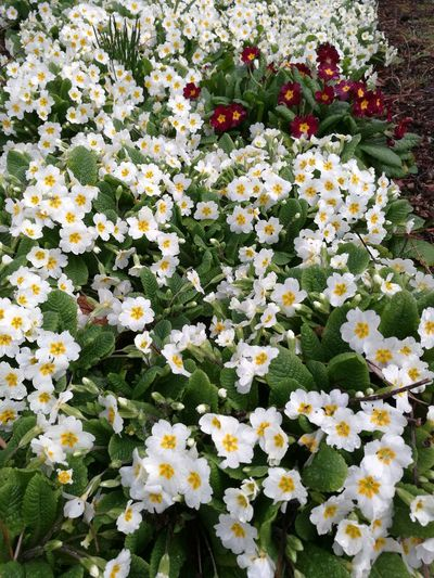 Odd one out. Primrose Beauty In Nature Growth Nature Plant Freshness