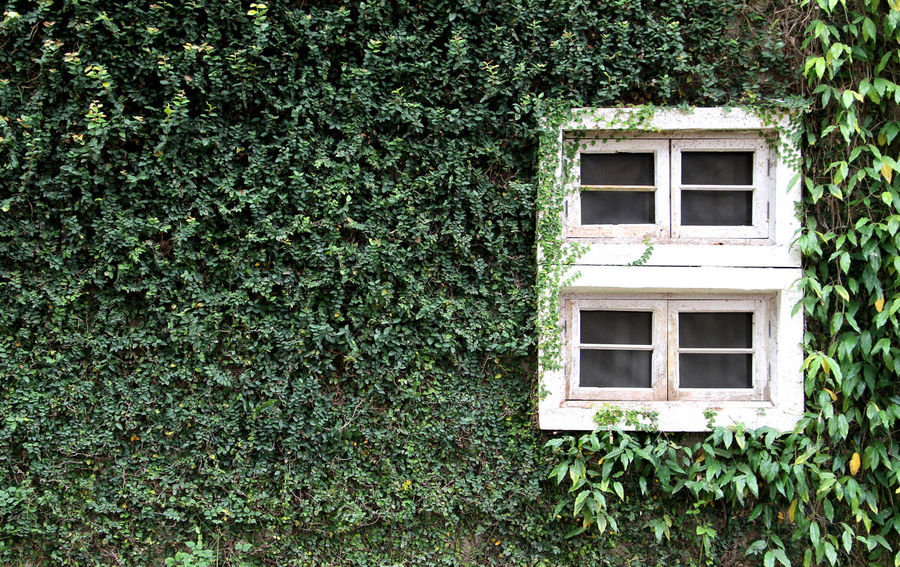 Walls of ivy and window in Thailand Home Tree Wood Thailand Wall Winter Spring Time Morning Happiness Beautiful Helathcare Branch Abundant Abundance Relax Holiday Window Green Color Growth Plant Architecture Grass No People Day Ivy Building Exterior Built Structure Creeper Plant Outdoors Nature
