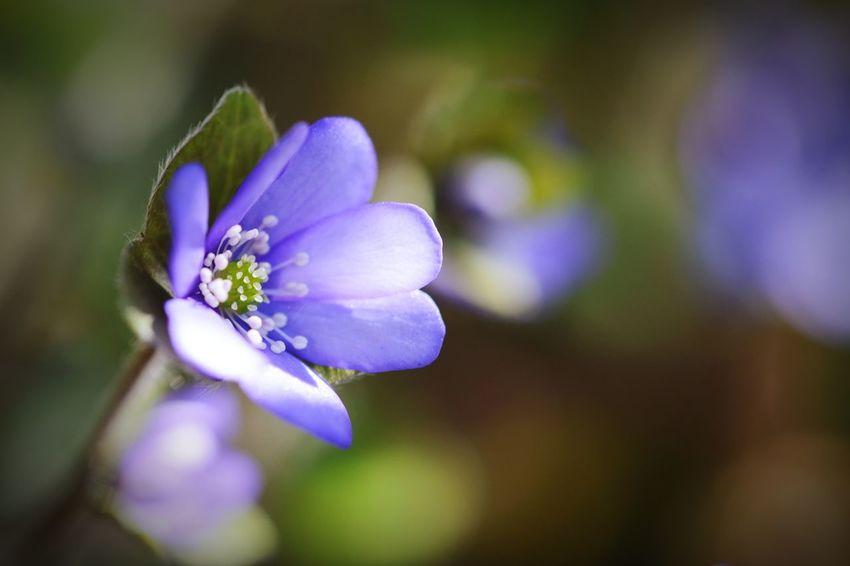 common hepatica. also known as liverwort. Liverwort Pennywort Spring Flowers Macro Photography Frühlingsblümchen